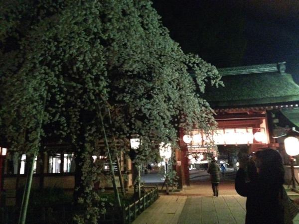 ชมซากุระกลางคืน