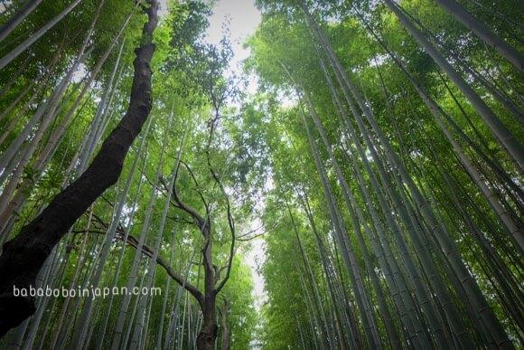 ป่าไผ่อะราชิยาม่าเกียวโต