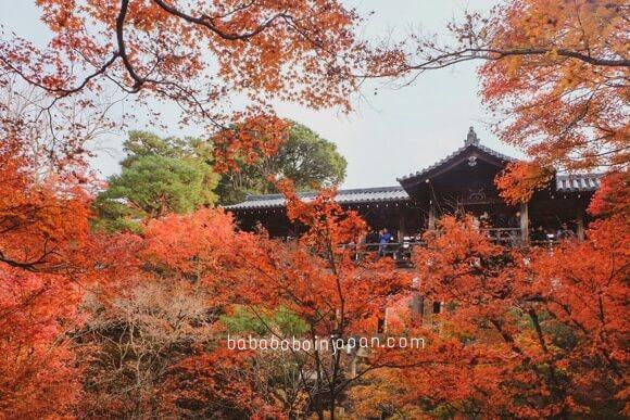 เกียวโต ชมใบไม้แดง